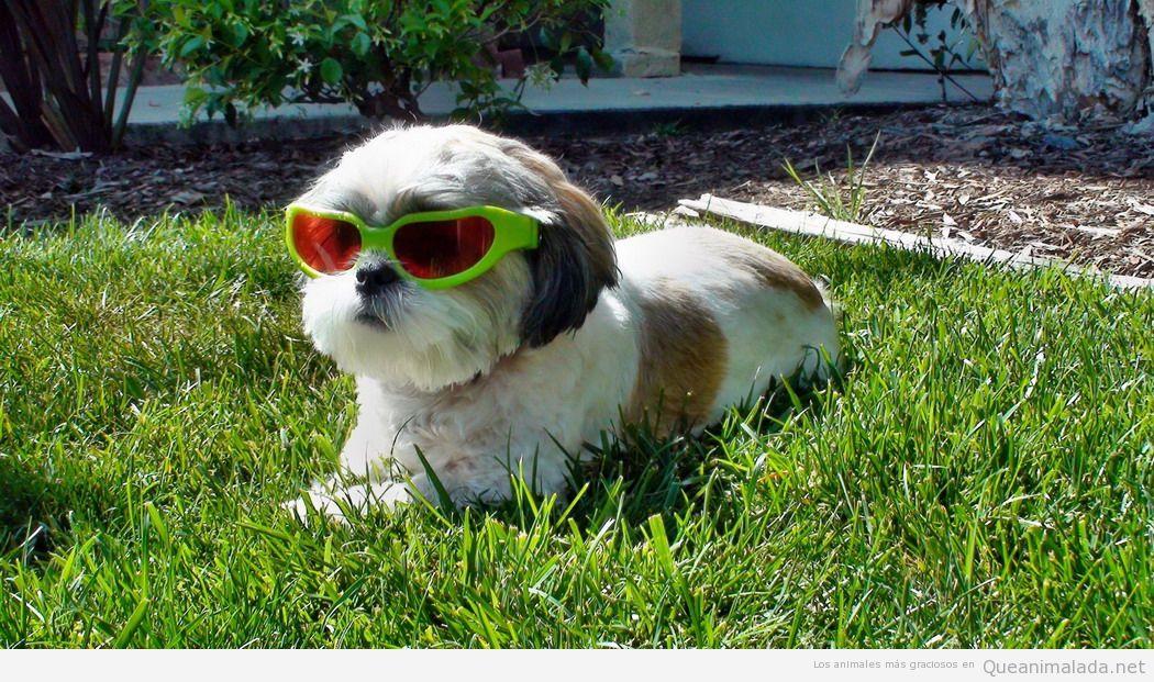 Perro chulo con gafas tomando sol en el jardín