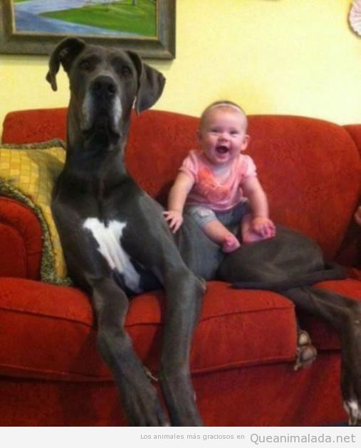 Bebé sentado encima de un perro muy grande, un dogo argentino