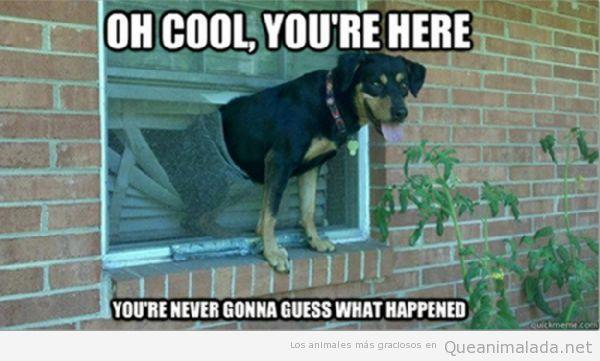 Perro gracioso con medio cuerpo asomado por la ventana con persiana rota
