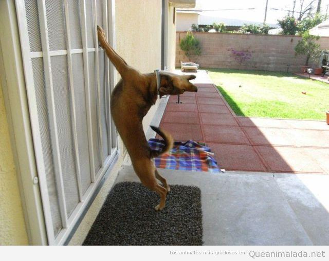 Foto divertida de un perro estirándose en la ventana