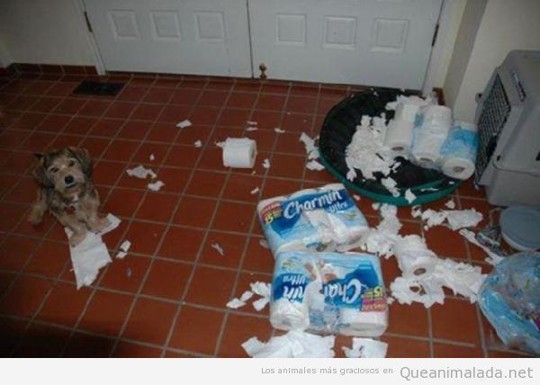Perro gracioso ha destrozado los rollos de papel del wc