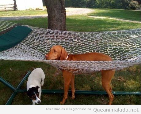 Perro gracioso con las patas que se le han colado por la rendija de la hamaca