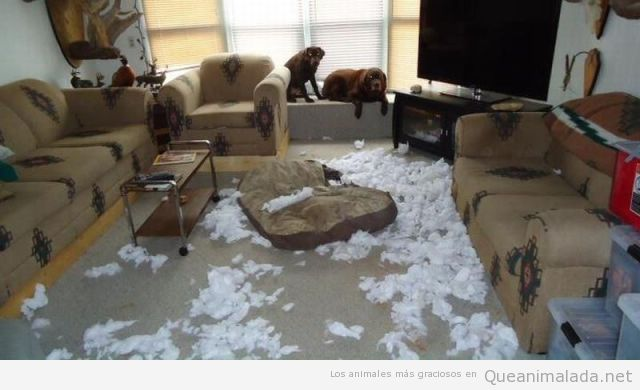 Dos perros han roto un sofá