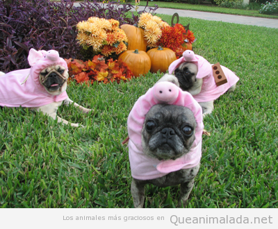 Pugs o carlinos vestidos de cerdos