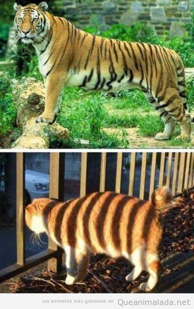 Tigre y gato a rayas