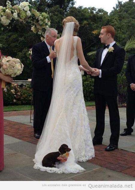 Perro lleva los anillos en la boda y se sienta en la cola del vestido de la novia