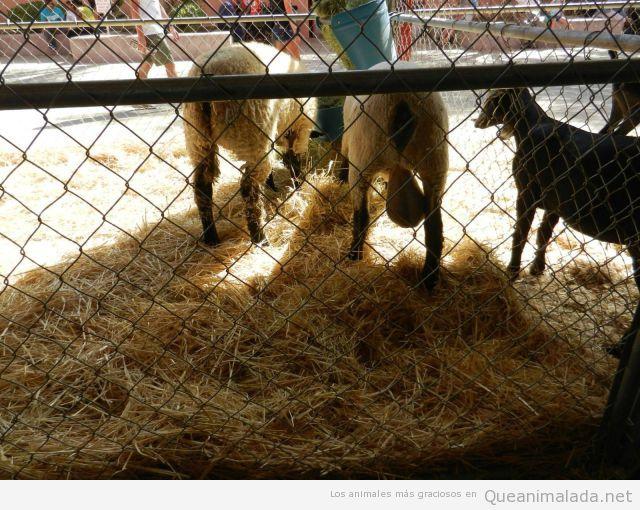 Foto curiosa de un carnero con los testículos enormes