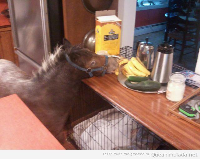 Foto graciosa de una cría de caballo entrando a la cocina a por un plátano