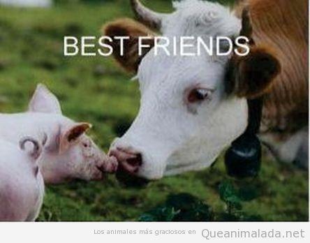 Imagen bonita de un cerdo y una vaca dándose un beso