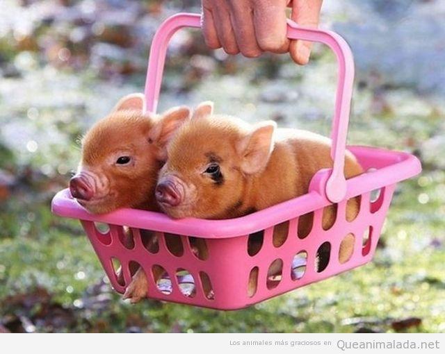 Foto tierna y ñoña de dos cerditos en una cesta