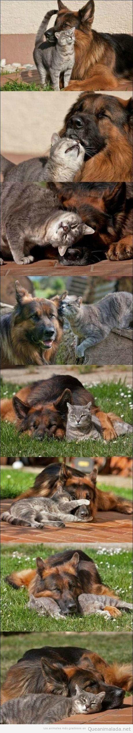 Fotos bonita de un perro pastor alemán y un gato que son amigos