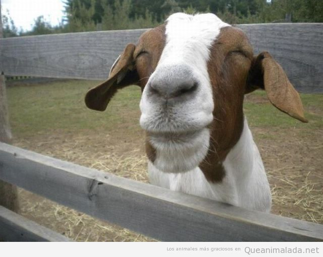 Foto graciosa de una cabra sonriendo