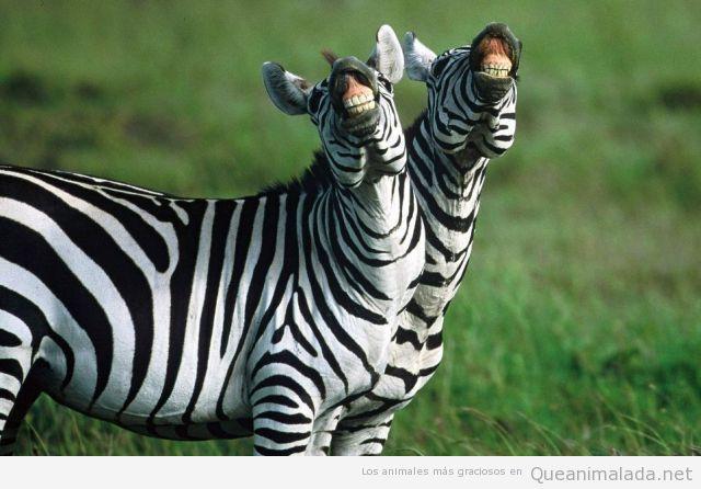 Foto divertida de dos cebras sonriendo, enseñando los dientes