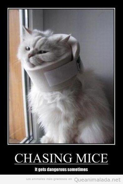 Gato lesionado con collarín