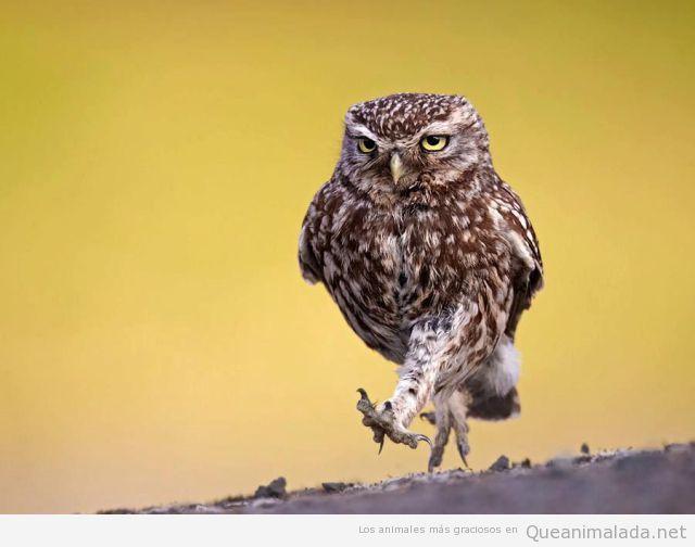 Foto divertida de un búho que parece andar como una persona