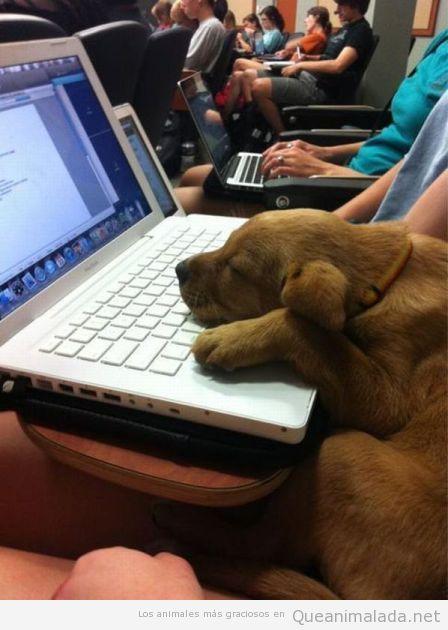 Perro cachorro encima de un ordenador portátil en una clase de la universidad