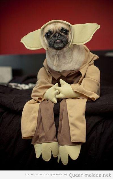 Pug o Carlino con disfraz de Yoda