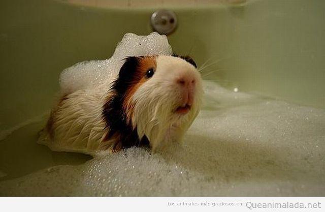 Foto graciosa de un Conejillo de Indias o cobaya dándose un baño de espuma