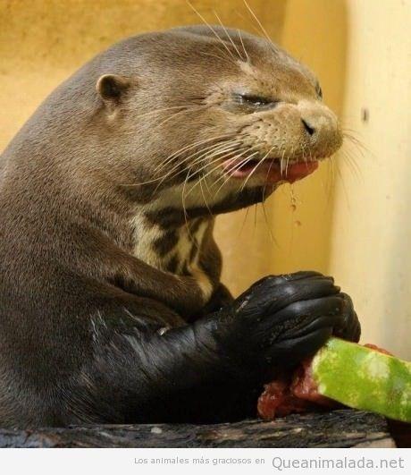 Imagen divertida de una foca comiendo sandía
