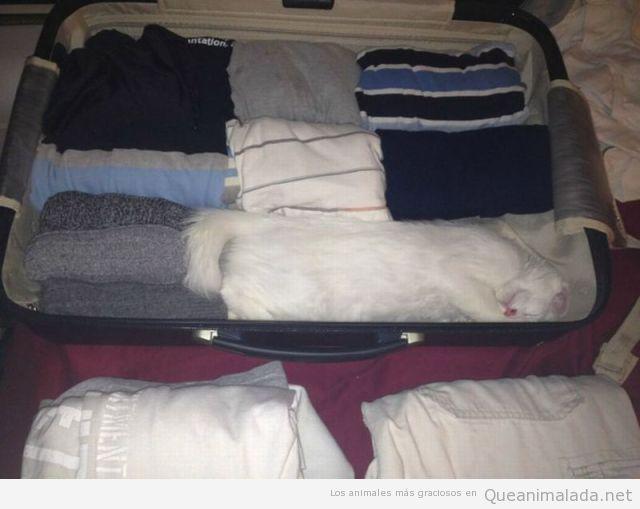 Gato camuflado dentro de una maleta llena de ropa