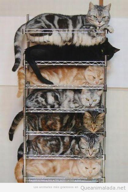 Gatos metidos ordenador en una estantería