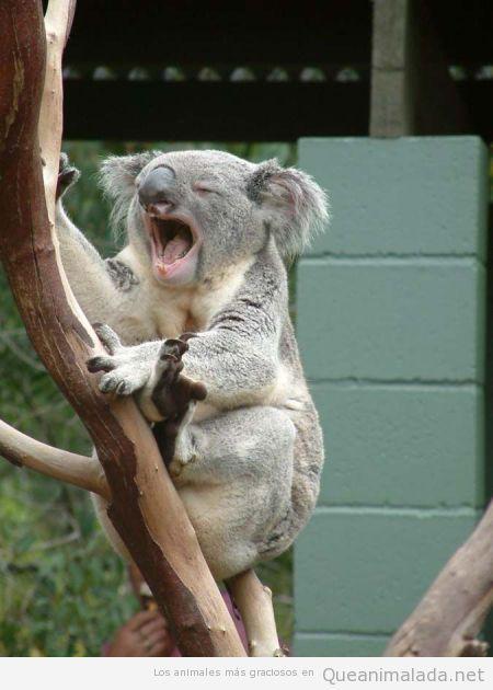 Foto divertida de un koala bostezando
