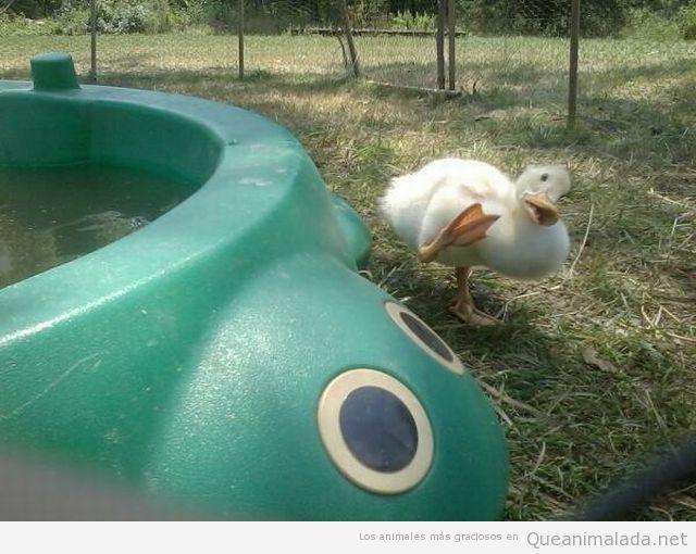 Foto graciosa de pato