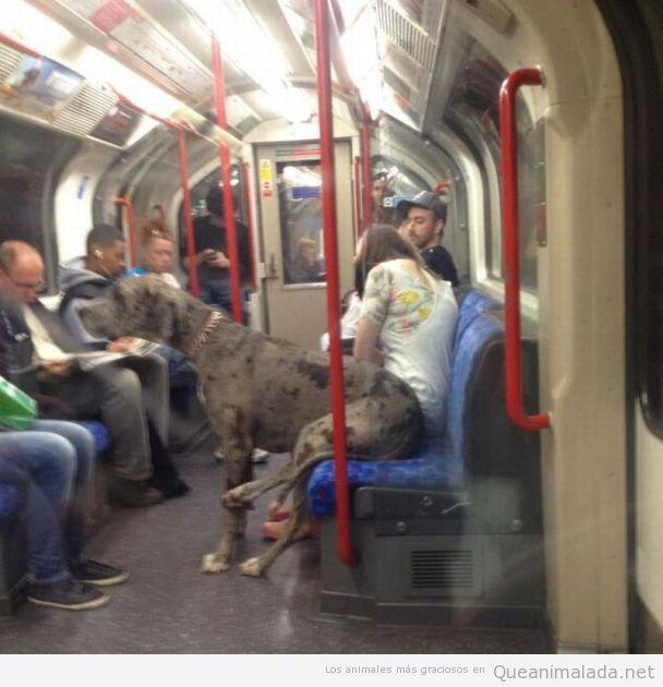 Foto graciosa de un dogo argentino sentado en el metro