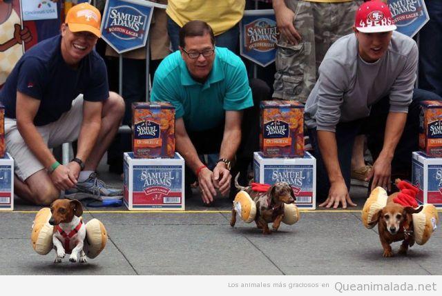 Foto graciosa de perros salchica con panecillos corriendo en el  Oktoberfest Cincinnati 2012