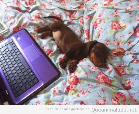 Perro salchicha  durmiendo en una cama