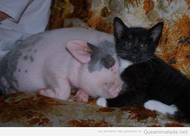 Foto bonita de un cerdo bebé y un gato en el sofá
