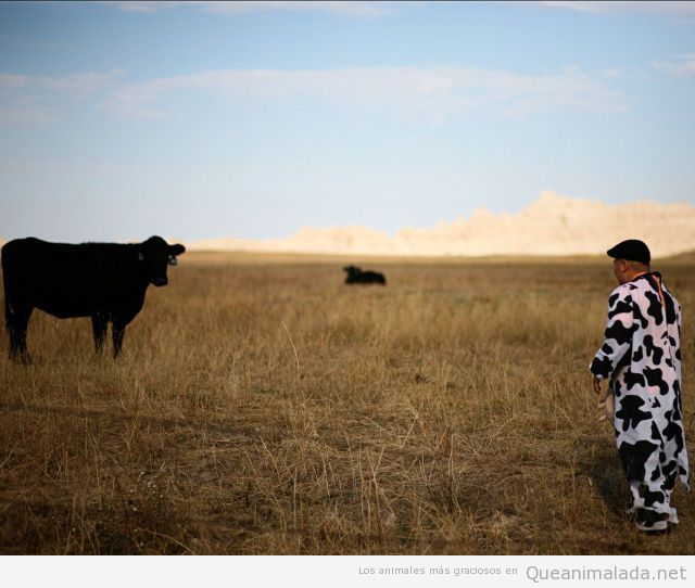 Foto graciosa de un hombre disfrazado de vaca en un campo de toros