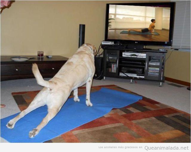 Foto graciosa de un perro haciendo estiramientos mientras ve un vídeo de fitness
