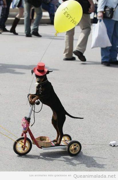 Foto divertida de perro subido a un monopatín con un globo