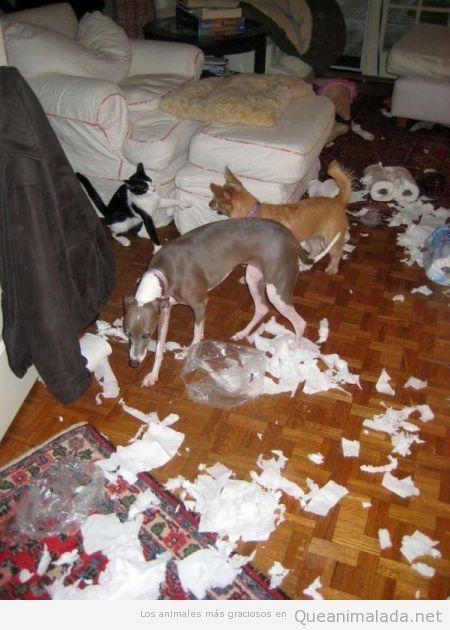 Foto graciosa de perros y gatos destrozando el salón de una casa
