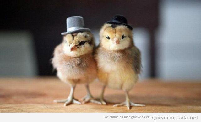 Foto divertida de dos pollitos son sombrero