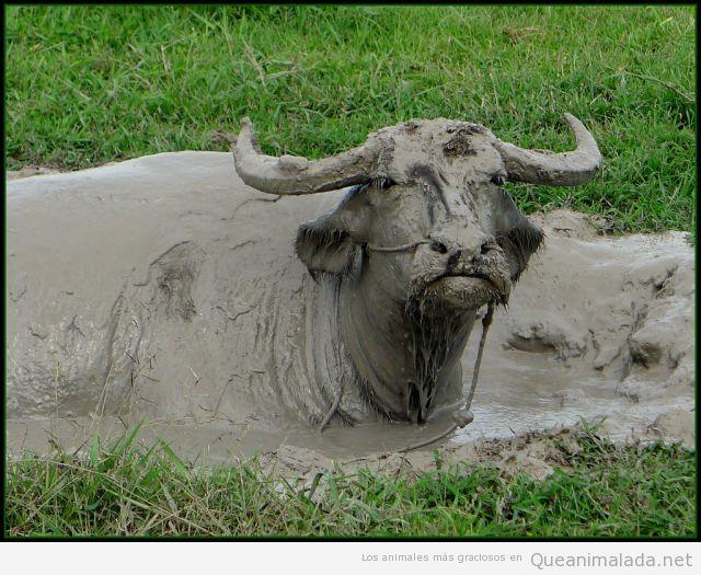 Foto graciosa de una vaca cubierta de barro