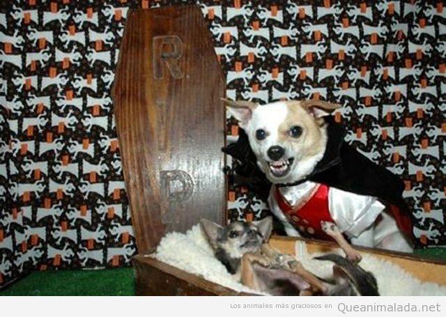Disfraz de perro vestido de vampiro en Halloween