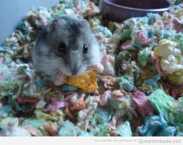 Hamster bonito comiendo un dorito