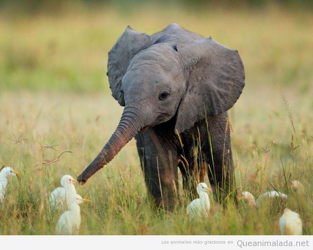 Foto tierna y bonita de cría de elefante con patos