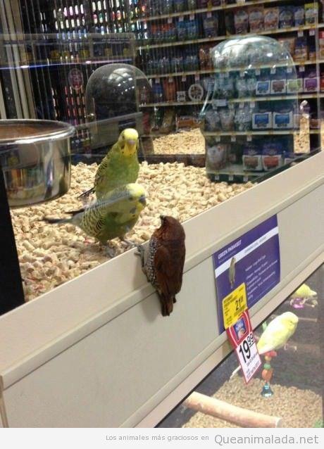 Foto divertida de una pajarería en la que un pájaro intenta liberar periquito