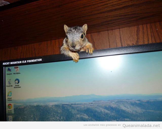 Foto graciosa ardilla observa detrás pantalla ordenador