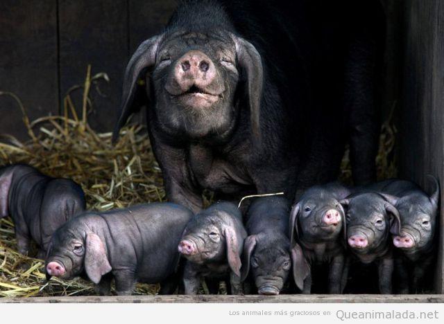 Foto divertida y bonita de una camada de cerdos negros