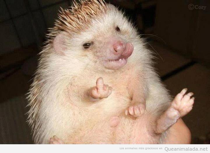 Imagen divertida de un erizo enseñando el dedo corazón en señal de jódete
