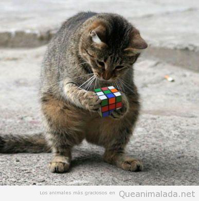 Imagen graciosa gato solucionando cubo Rubik