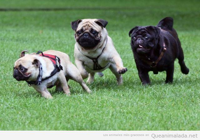Imagen divertida de tres carlinos o pugs haciendo una carrera