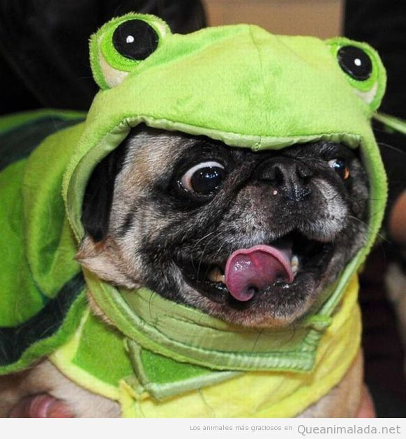 Perro carlino disfrazado de rana