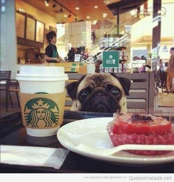 Perro carlino o pug en el Starbucks