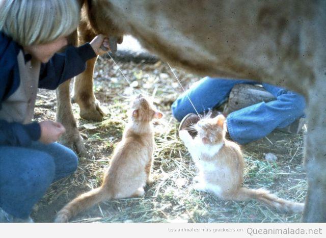 Dos gatos bebiendo leche de una vaca a la que están ordeñando