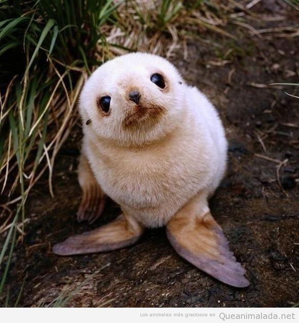 Foto bonita y tierna de una foca bebé